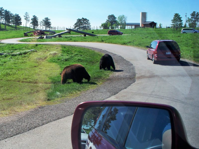 Tips for families at South Dakota's Bear Country U.S.A. It's on the way to Mount Rushmore from Rapid City! | tipsforfamilytrips.com | Black Hills | family vacation | road trip ideas | summer vacation | travel | bear cubs