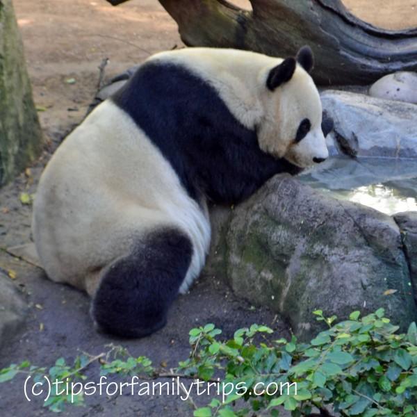 panda at San Diego Zoo