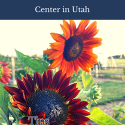 sunflowers at USU Botanical Center in Kaysville, Utah
